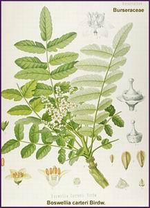 frankincense-boswelia-carteri