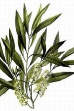 Tea-Tree-Melaleuca-alternifolia-aromystique-aromatherapy-oils