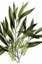 Tea-Tree-Melaleuca-alternifolia-aromystique-aromatherapy-oils